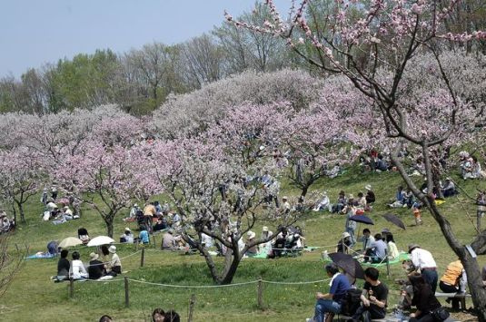 "Matsumae Japan  City pictures : Places for see ""Sakura"" Blooming in Japan – nihon01culture"